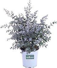 Pianta di Eucalyptus Gunnii o Eucalipto Pianta da
