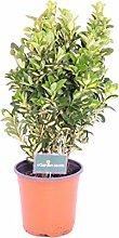 Pianta di Euonymus Japonicus Luna pianta da