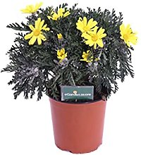 Pianta di Euryops Pectinatus pianta da esterno