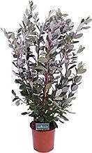 Pianta di Feijoa Albero di Feijoa pianta da frutto
