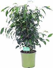 Pianta di Ficus Benjamin Pianta da interno di