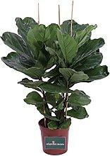 Pianta di Ficus Lyrata pianta da interno pianta da