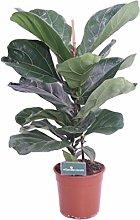 Pianta di Ficus Lyrata varietà Lyrata Pianta da