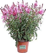 Pianta di Fior di Orchidea Rosa pianta di Gaura