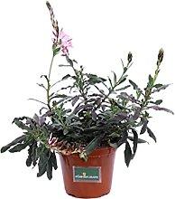 Pianta di Fior di Orchidea Variegata pianta di