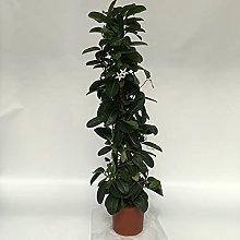 pianta di GELSOMINO DEL MADAGASCAR rampicante