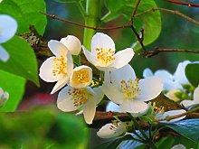 Pianta di Gelsomino - Jasminum officinalis (vaso -