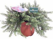 Pianta di Grevillea Lanigera Mt Tamboritha pianta