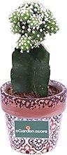 Pianta di Gymnocalycium Mihanovichii Deco pianta