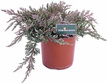 pianta di Juniperus Horizontalis Blue Chip pianta