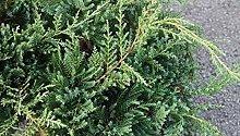 Pianta di Juniperus X Pfitzeriana Pfitz Compacta