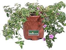 Pianta di Lantana Sellowiana pianta da esterno