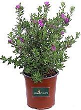 Pianta di Leucophyllum Frutescens Pianta di Salvia