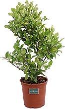 Pianta di Ligustro del Texas pianta di Ligustrum