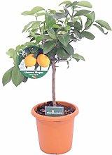 pianta di Limone Meyer Nano albero nano di limone