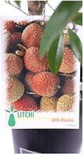 Pianta di Litchi Chinensis Albero di Licis pianta