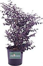 Pianta di Loropetalum Chinense Black Pearl pianta
