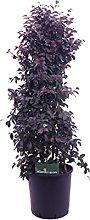 Pianta di Loropetalum Chinense Black Pearl
