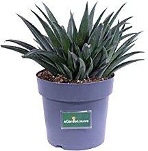 Pianta di Mangave pianta da esterno pianta