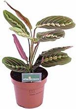pianta di Maranta Leuconeura Fascinator pianta da