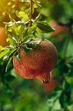 pianta di Melograno albero di melograno varietà
