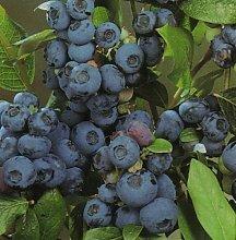 Pianta di mirtillo precoce BLUETTA frutti rossi
