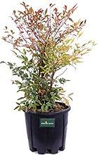 Pianta di Nandina Domestica pianta da esterno
