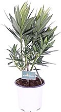 Pianta di Oleandro Pianta di Nerium Oleander