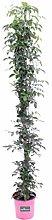 Pianta di Pandorea Jasminoides pianta da esterno
