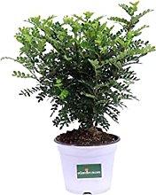 Pianta di Pepe Giapponese pianta di Zanthoxylum