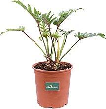 Pianta di Philodendron Xanadu Pianta di Filodendro