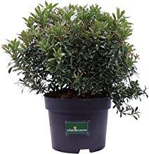 Pianta di Pieris Japonica pianta da esterno pianta