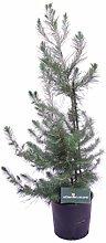 pianta di Pino D'Aleppo pianta di Pinus