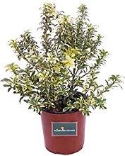 Pianta di Pittosporum Heterophyllum Variegatum