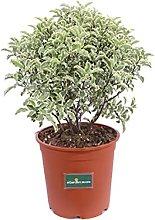 Pianta di Pittosporum Tenuifolium Silver Queen