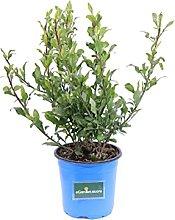 Pianta di Plumbago Auriculata pianta da esterno