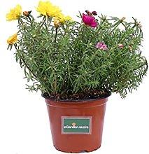 Pianta di Portulaca pianta da esterno pianta da