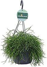Pianta di Rhipsalis pianta succulenta pianta