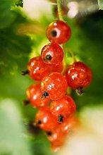 Pianta di Ribes Albero di Ribes Età 2 anni Pianta