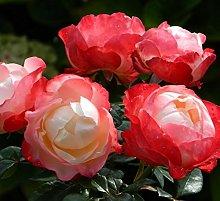 Pianta di rosa NOSTALGIE rosai rosaio fiori piante