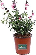 Pianta di Salvia Jamensis pianta da giardino