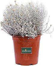 Pianta di Santolina Chamaecyparissus pianta da