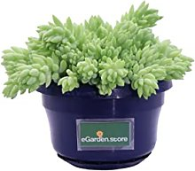 Pianta di Sedum pianta da interno pianta
