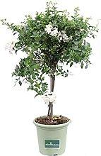 pianta di Solanum Jasminoides ad Alberello pianta