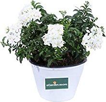 Pianta di Solanum Jasminoides Bianco pianta da
