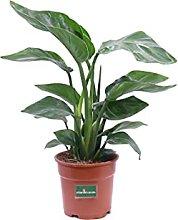 pianta di Strelitzia Nicolai piana vera da interno