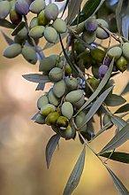 Pianta di Ulivo Albero di Olivo varietà Leccino
