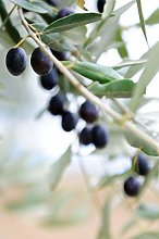 Pianta di Ulivo Albero di Olivo varietà Pasola