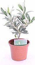 Pianta di Ulivo bonsai pianta di bonsai Olivo