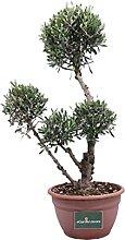 pianta di ulivo ornamentale da esterno pianta in